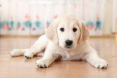 Free Labrador Retriever Puppy Stock Photography - 47691552