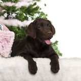 Labrador Retriever puppy, 5 months old, lying Royalty Free Stock Photos