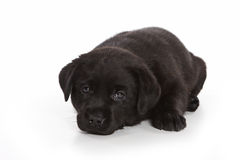 Labrador Retriever puppy Royalty Free Stock Photography