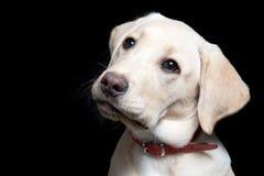 Labrador Retriever Puppy Stock Image