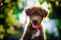 labrador retriever puppy with bokeh stock image