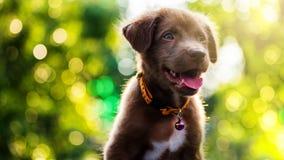 Labrador Retriever puppy with bokeh sunset royalty free stock photos