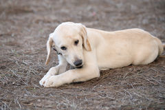 Labrador retriever puppy. Chewing a stick at a dog park Royalty Free Stock Image