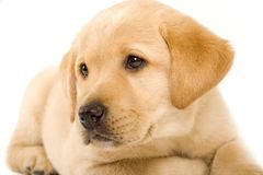 Labrador retriever puppy with cute eyes Royalty Free Stock Photo