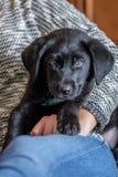Labrador retriever puppy Stock Photos