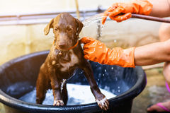 Labrador Retriever puppy dog bathing. Shower with sun light Stock Photography