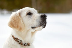 Labrador retriever puppy dog Stock Images