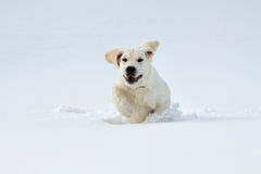 Labrador retriever puppy dog in the winter Royalty Free Stock Image
