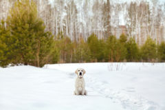 Labrador retriever puppy dog in the winter Stock Images