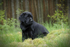 Labrador retriever puppy Stock Photo
