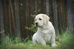 Labrador retriever puppy Royalty Free Stock Photos