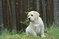Labrador retriever puppy in garden Royalty Free Stock Image