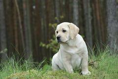 Labrador retriever puppy in garden royalty free stock image