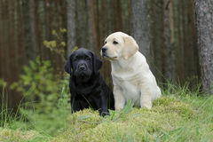 Labrador retriever puppy in garden Royalty Free Stock Images
