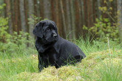 Labrador retriever puppy in garden Stock Image