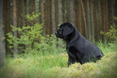 Labrador retriever puppy in garden Stock Photos