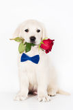 golden retriever puppy holding a rose in his mouth Stock Photo