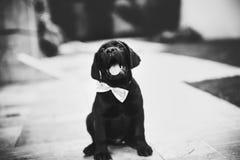Labrador Retriever Puppy on Grayscale Photo royalty free stock photos