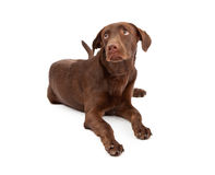Labrador Retriever Puppy With Guilty Look Royalty Free Stock Photography