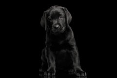 Labrador Retriever puppy isolated on black background Stock Photography