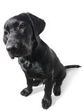 Labrador Retriever puppy isolated on white. Young dog, Labrador Retriever puppy with big nose isolated on white Royalty Free Stock Photos