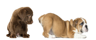 Labrador retriever puppy looking at the butt of an English Bulldog Stock Photography