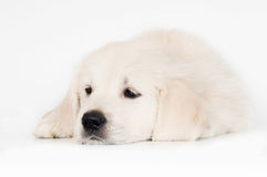 golden retriever puppy lying down sad Stock Images