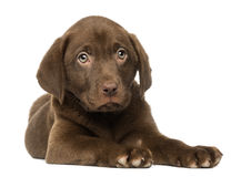 Labrador Retriever Puppy lying down, 2 months old Royalty Free Stock Images