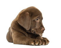 Labrador Retriever Puppy lying and looking down, 2 months old Stock Photos