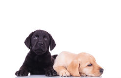 Labrador retriever puppy lying next to sleepy brother Stock Photos