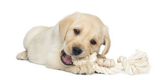 Labrador Retriever Puppy, 2 months old, lying and chewing a rope Royalty Free Stock Image