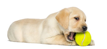 Labrador Retriever Puppy, 2 months old, lying and chewing a tennis ball Stock Image
