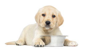 Labrador Retriever Puppy, 2 months old, lying down with metallic dog bowl Stock Image