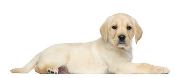 Labrador Retriever Puppy, 2 months old, lying and facing Royalty Free Stock Photos
