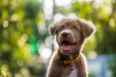 Labrador retriever puppy with natural bokeh. Portrait of happy cute Brown labrador retriever puppy dog smile against natural sunset foliage bokeh background and royalty free stock photos