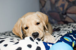 Labrador retriever puppy playing stock image