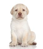 Labrador retriever puppy portrait Stock Photo