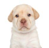 Labrador retriever puppy, portrait Stock Images