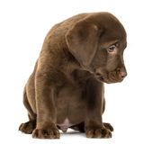 Labrador Retriever Puppy Sitting, 2 Months Old Royalty Free Stock Images