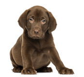 Labrador Retriever Puppy Sitting And Facing, 2 Months Old Royalty Free Stock Photography