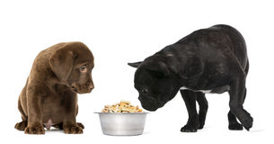 Labrador Retriever Puppy sitting and French Bulldog looking Royalty Free Stock Photography
