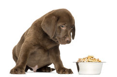 Labrador Retriever Puppy sitting with full dog bowl Royalty Free Stock Photography