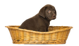 Labrador Retriever Puppy sitting in a wicker basket Royalty Free Stock Photos