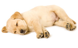 Labrador Retriever Puppy Sleeping Stock Photography