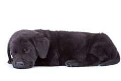 Labrador retriever puppy sleeping Stock Image