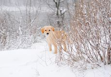 Labrador retriever puppy in the snow Stock Image