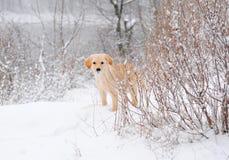 Labrador retriever puppy in the snow. Golden labrador retriever puppy standing in the snow Stock Image