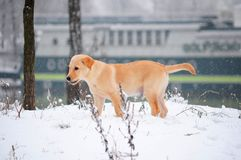 Labrador retriever puppy in the snow Royalty Free Stock Photos