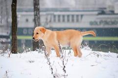 Labrador retriever puppy in the snow. Golden labrador retriever puppy standing in the snow Royalty Free Stock Photos