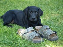 Labrador retriever puppy. South Bohemia royalty free stock photo
